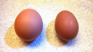 Red Marans